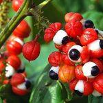 Guaranà per dimagrire: proprietà, benefici ed effetti